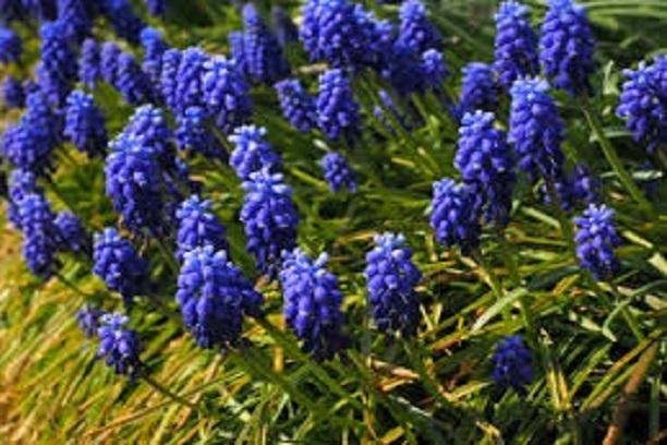 Muscari azul vivero los montes for Viveros en osorno