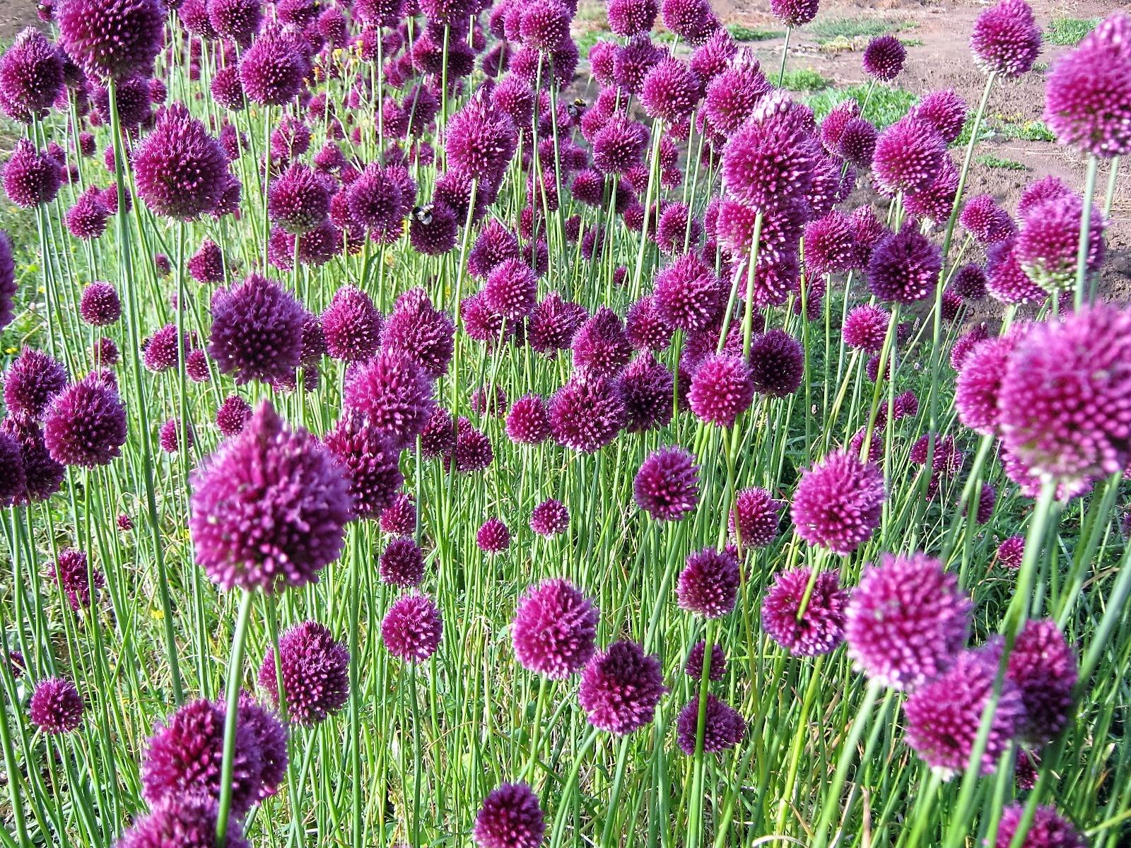 Allium spharocephalum vivero los montes for Viveros en osorno