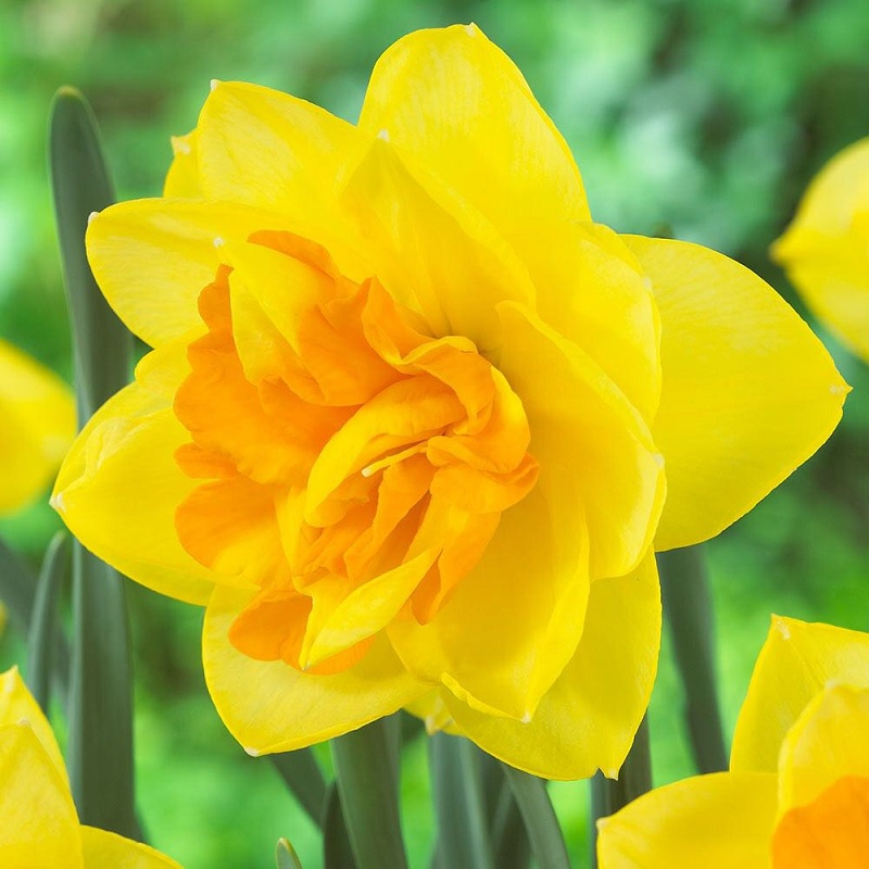 Narciso apotheose vivero los montes for Viveros en osorno